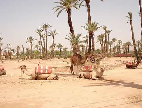 Marrakech palm grove